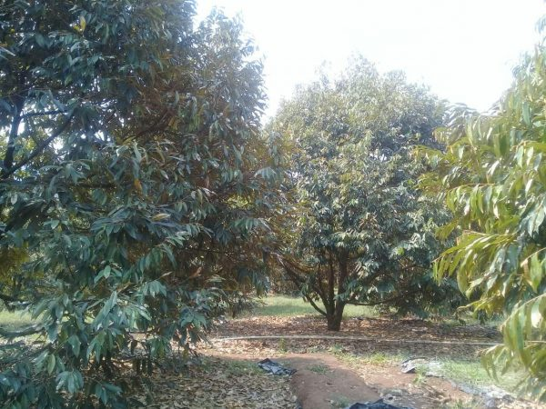 Jual kebun durian siap panen usia 6 th cigudeg bogor jawa barat gratis villa
